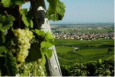 Comment trouver un petit producteur de vin en Alsace ?